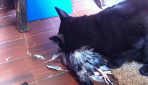 Gato come paloma